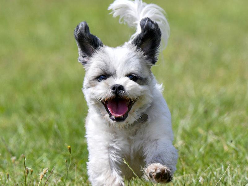 Boomer hond
